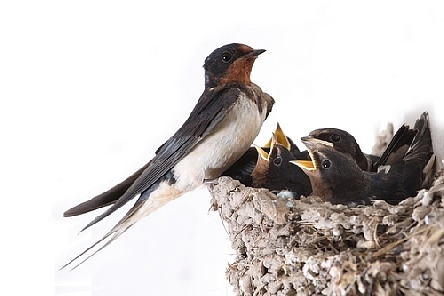 Гнездото на лястовичката носи щастие