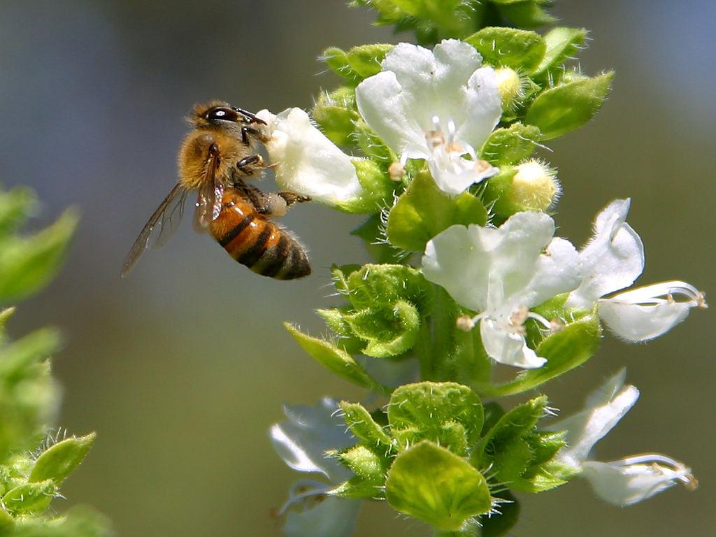 Мед и босилек срещу настинки
