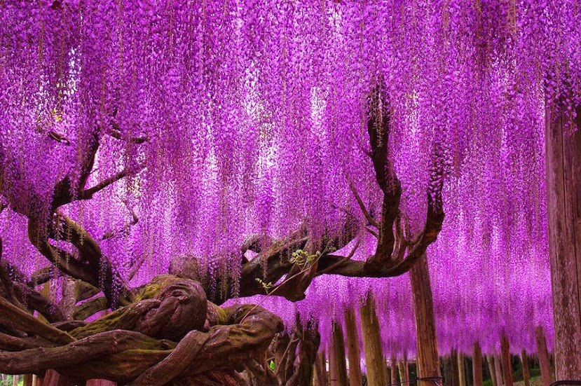 Wisteria Tree, Ashikaga Park – Tochigi, Japan